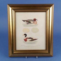 Picture of Canard Siffleur ou Penelope, Tadorne de Belon Framed Print
